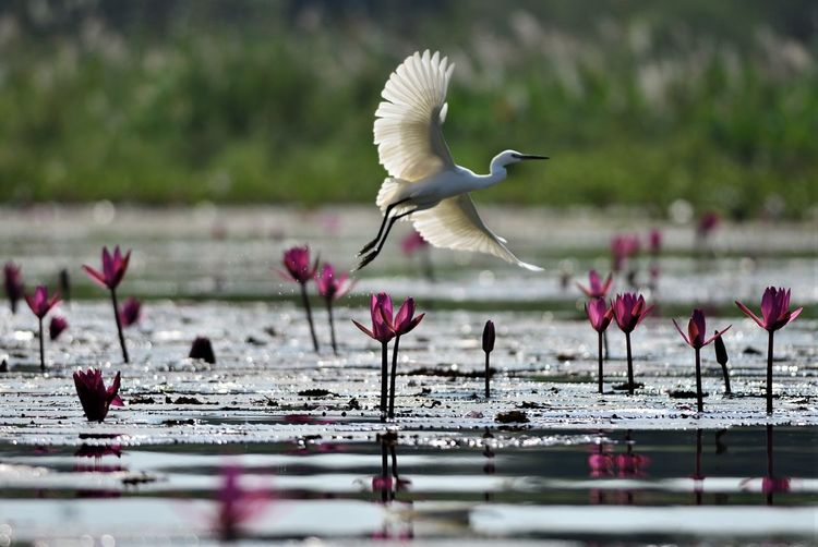 thailand Bird Animal Themes Animal Wildlife Animals In The Wild Animal Vertebrate Water Flying Spread Wings No People Selective Focus Group Of Animals Beauty In Nature Flowering Plant Pink Color Seagull Lake Flower Nature Day