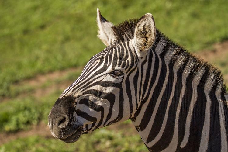 Equus quagga, cebra común, Zebra Zebra Animal Markings Animal Themes Animal Wildlife Animals In The Wild Cebra Cebra Comun Equus Quagga Focus On Foreground Grass Mammal Nature One Animal Outdoors Safari Animals Striped Zebra
