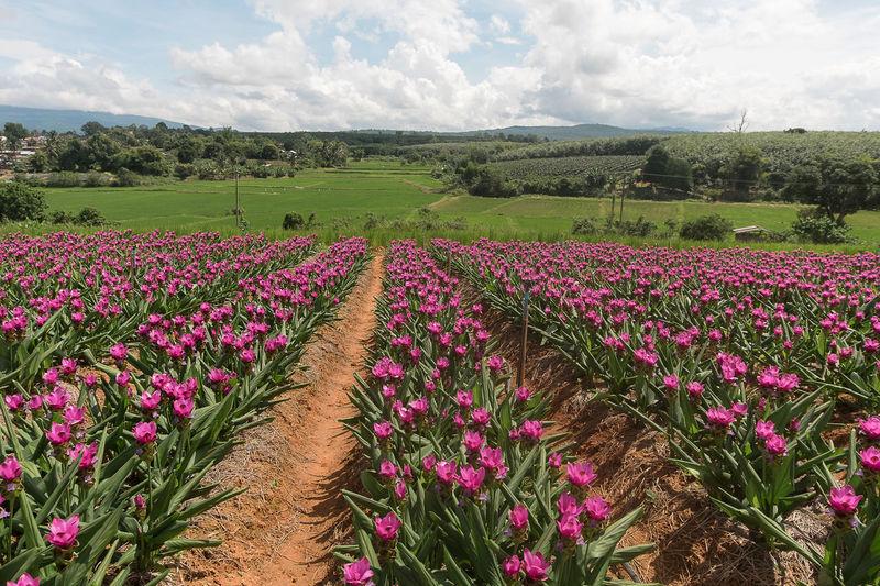 Pink flowering plants on field