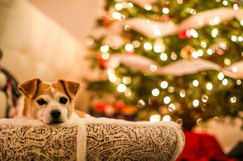 Portrait of dog on christmas tree at home