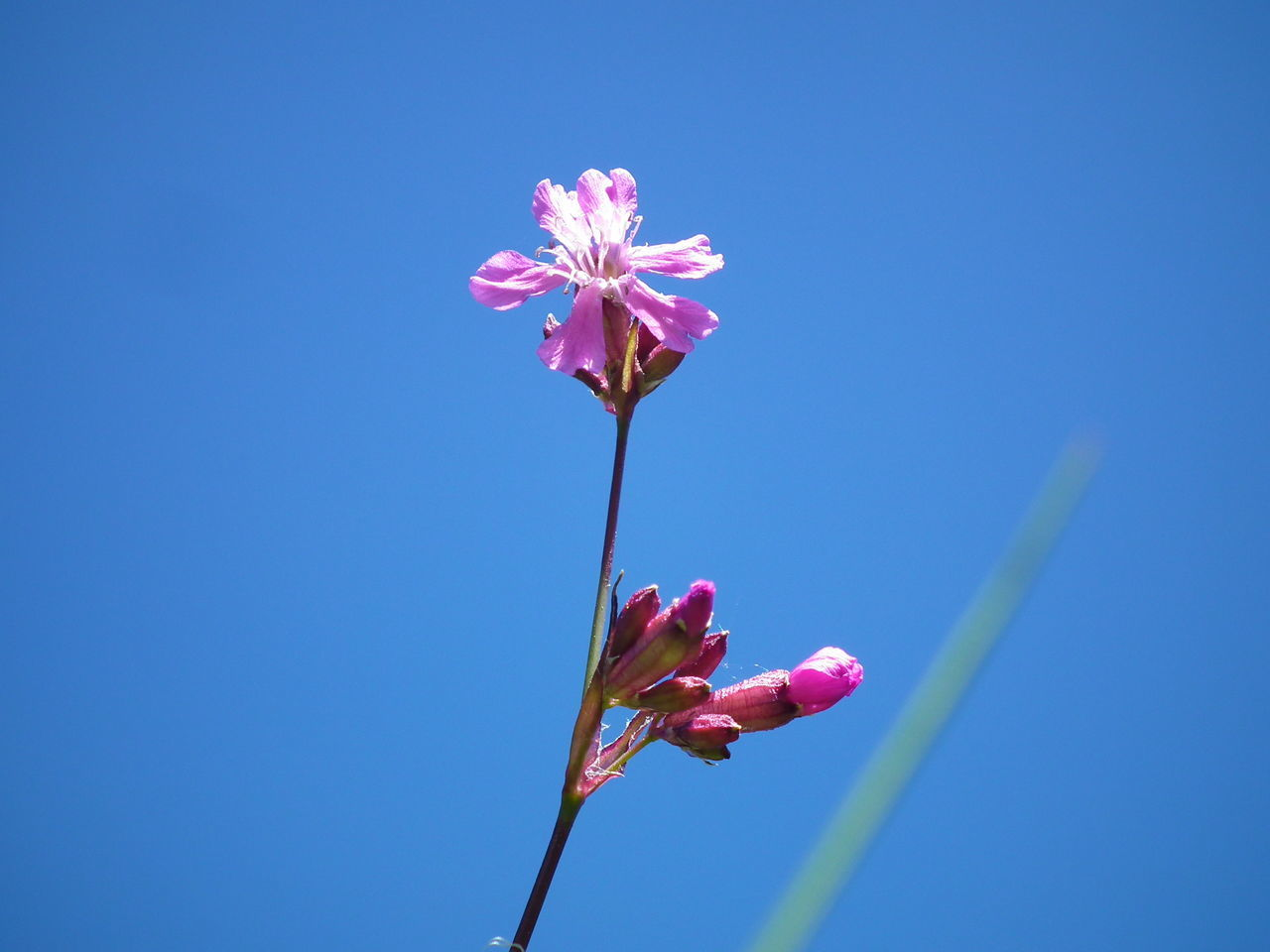 flower, pink color, petal, fragility, nature, beauty in nature, blue, copy space, freshness, clear sky, no people, flower head, growth, day, outdoors, plant, blooming, low angle view, close-up, sky