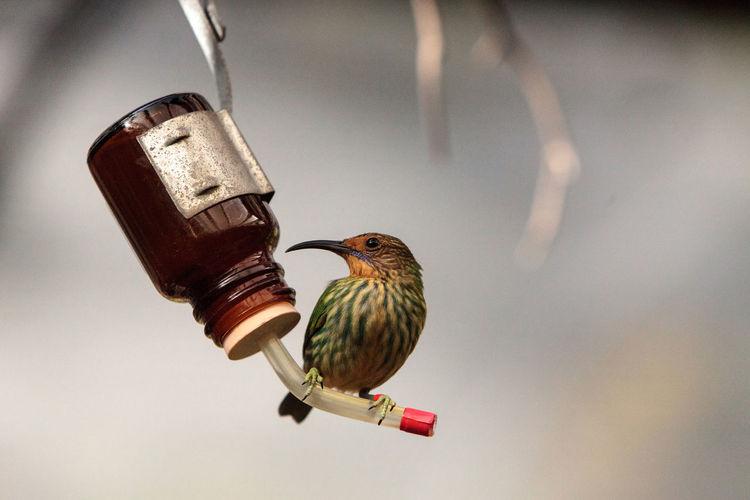 Close-up of female purple honeycreeper perching on bird feeder