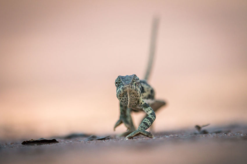 On a mission! Animals In The Wild Beautiful Beautiful Nature Nature Nature Photography Reptile Travel Traveling Wildlife & Nature Wildlife Photography Wildlife Photos Africa African Safari Animal Photography Animal Themes Animal Wildlife Animals Beauty In Nature Camouflage Chameleon Flap Necked Chameleon Safari Safari Animals Wildlife Wildlifephotography