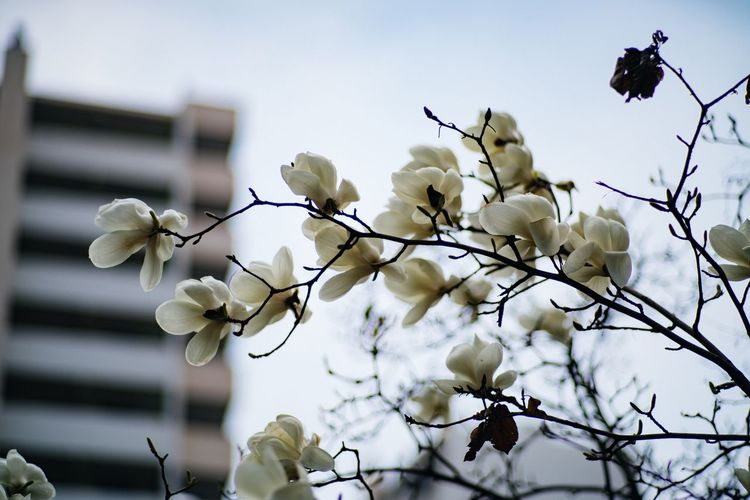 Nature Blooming Flower Magnolia_Blossom Spring Flowers White Flower EyeEm Nature Lover Beauty In Nature CarlZeiss Planar 85/1.4 EyeEm Korea
