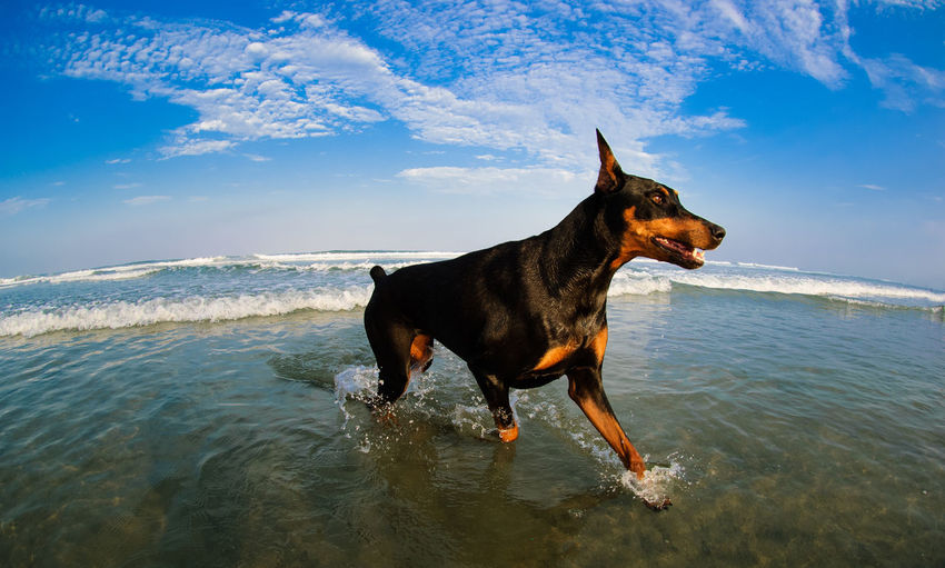 Black and tan Doberman Pinscher dog with cropped ears trotting through ocean water with blue sky One Animal Animal Canine Dog Sky Sea Motion Beach Cloud - Sky No People Pets Water Animal Themes Day Doberman  Dobermann Doberman Pinscher Black And Tan Black Tan Cropped Ears Splashing Ocean Purebred Dog
