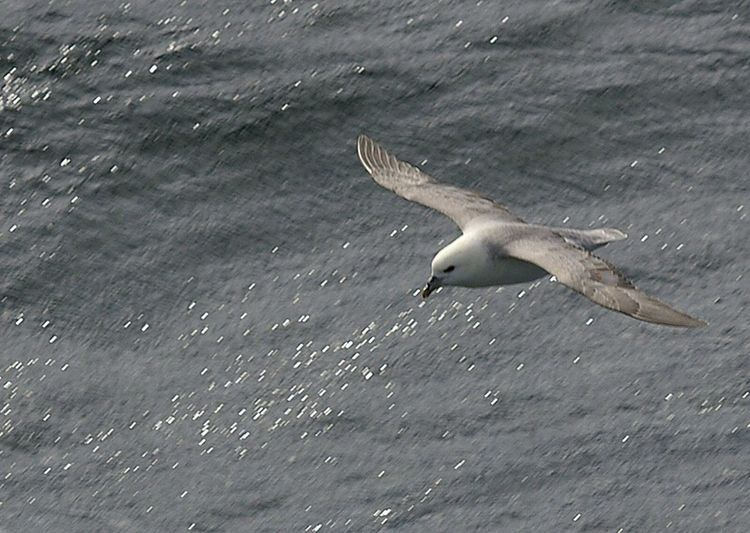 fulmar, North Sea . Animal Themes Bird One Animal Animals In The Wild Flying Wildlife Water Spread Wings Nature Sea Avian Birds_collection Birds Of EyeEm  Flight Sea Birds Fulmar
