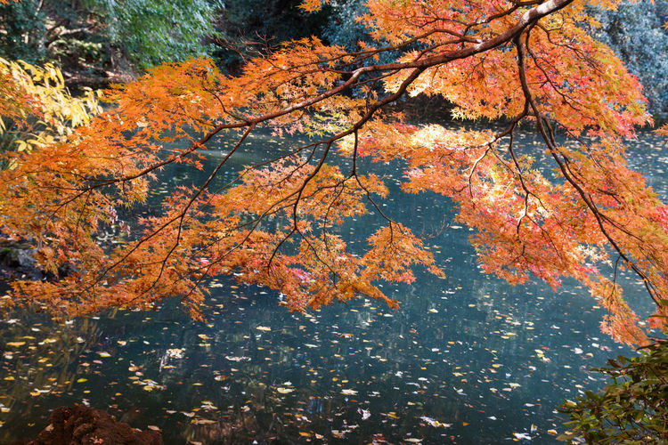 Autumn Tree Change Plant Orange Color Beauty In Nature Leaf Nature Plant Part Day Branch Growth No People Outdoors Low Angle View Tranquility Water Close-up Scenics - Nature Maple Leaf Autumn Collection Leaves Natural Condition Fall