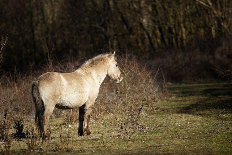 Konikhorse Mammal Animal Animal Themes One Animal Animal Wildlife Animals In The Wild Field