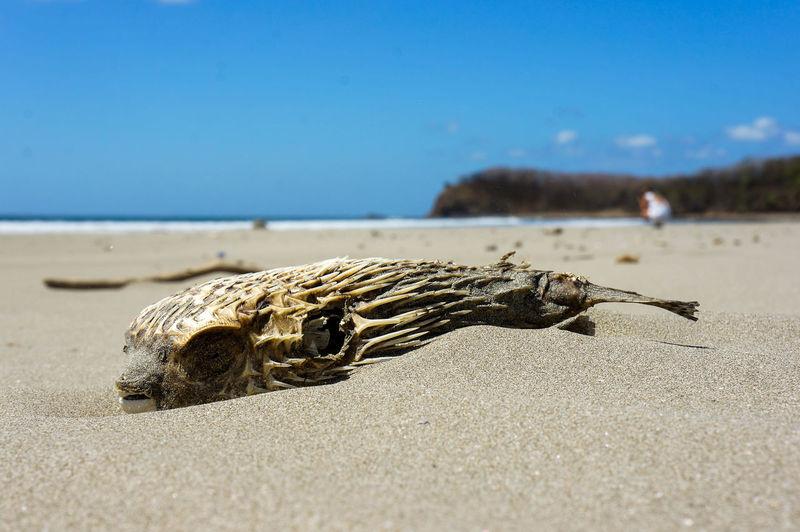 Close-up of dead animal on beach