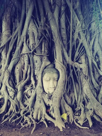 Buddha Head in Tree Roots, Ayutthaya, Thailand. Plant Taking Photos Tangled Outdoors Urban Nature Tranquility Life Is Beautiful Growth Nature Photography Historical Building Wildlife & Nature Enjoying Life Memories Lifeisbeautiful Huawei Mate8 Huaweishot Huaweiphotography Buddha Ayutthaya Thailand