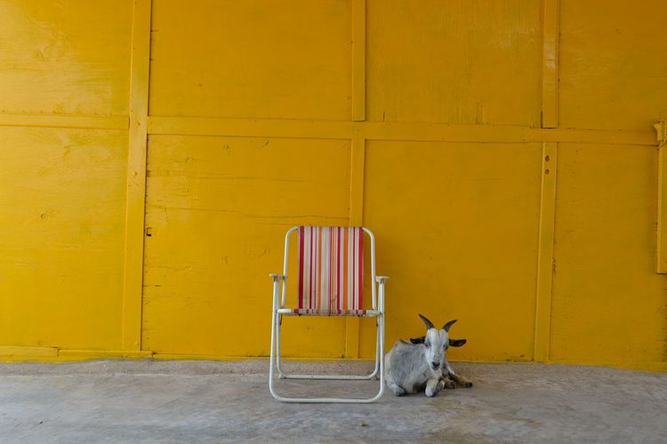 Dog relaxing on yellow wall