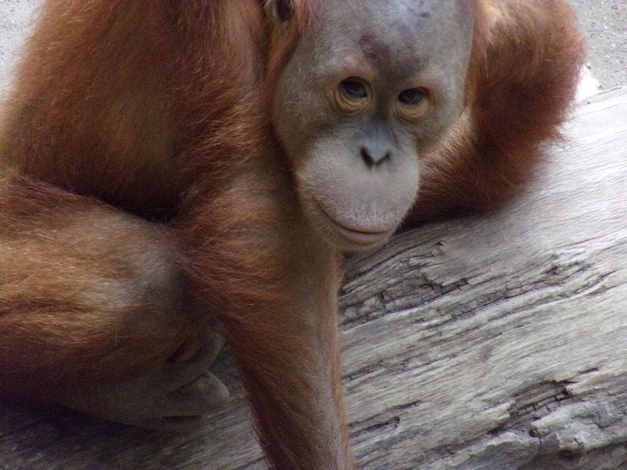 Portrait Of Orangutan On Wood