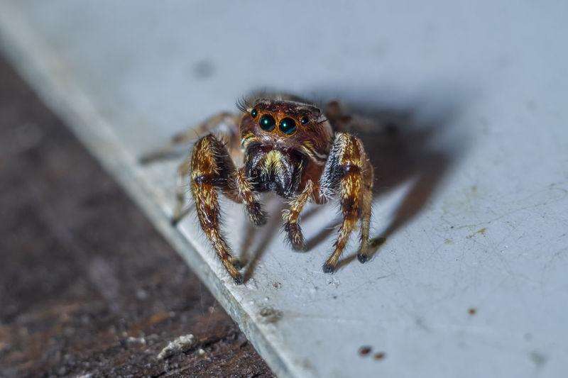 This cute jumping spider is a ferocious predator