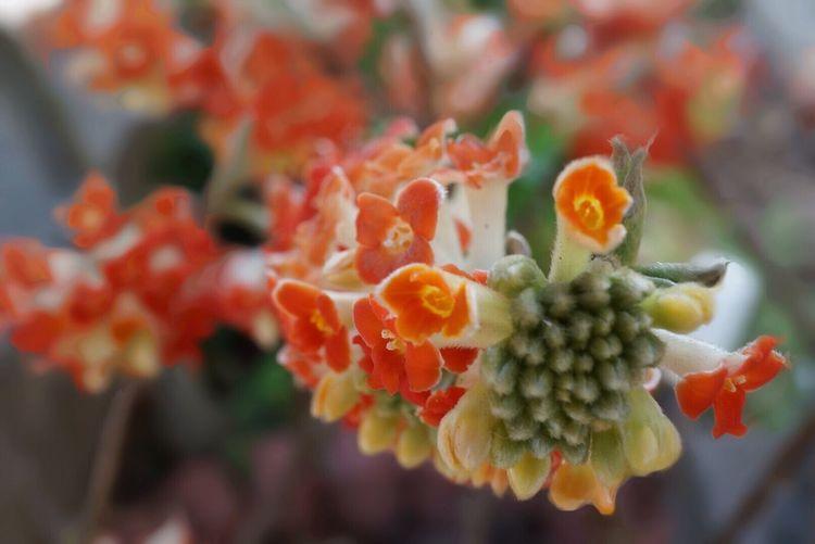 Flowerporn Beautiful Nature EyeEm Nature Lover Beautiful Flowers 春 ミツマタ ベニハナミツマタ