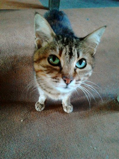 Cat Cat Lovers Heterochromia Cutie Green Eyes Blue Eyes EyeEm Pets Domestic Cat Looking At Camera Pets Domestic Animals No People Close-up Mammal One Animal First Eyeem Photo
