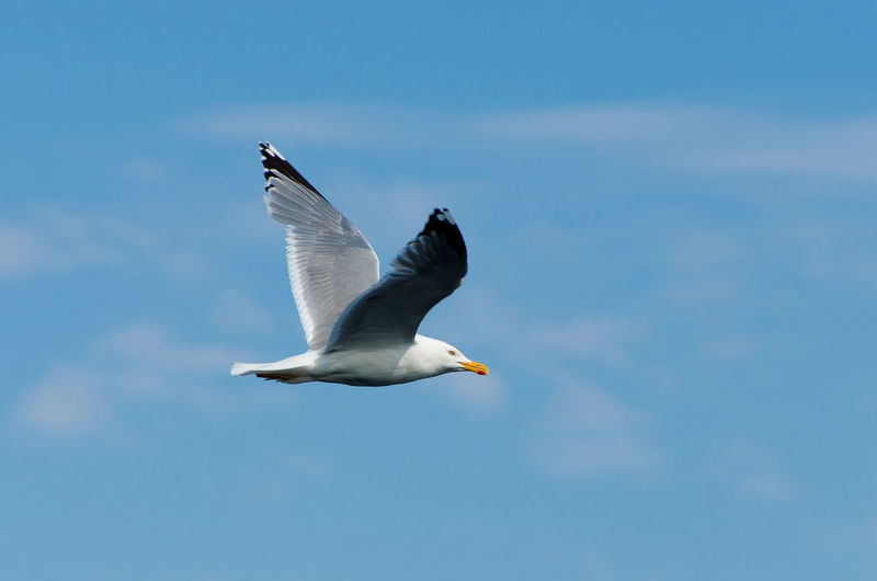 Close-up of seagull flying in sky