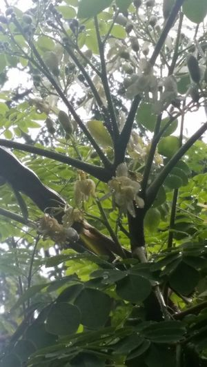 Mum's Miracle Tree Flowering again. Every part of this tree is edible. Nature Healing Powers Of Nature Singapore