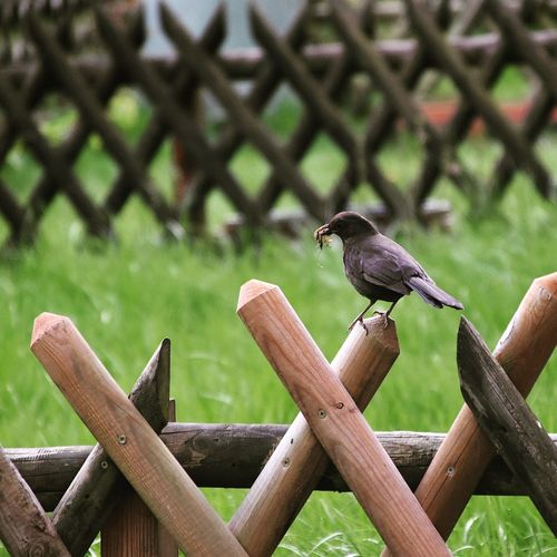 Bird Perching Confined Space Wood - Material Grass Close-up Wooden Post
