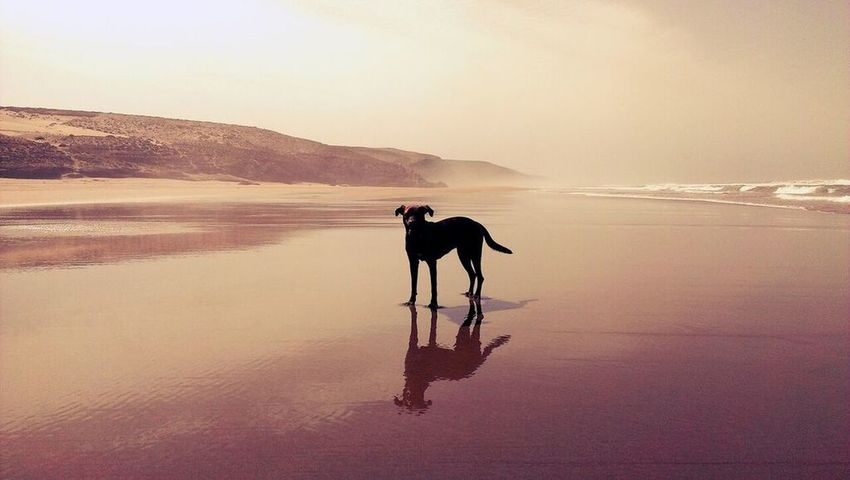 Reflection Sunset Outdoors Beauty In Nature Silhouette Dog Marroco Essaouira Beach EyeEmNewHere