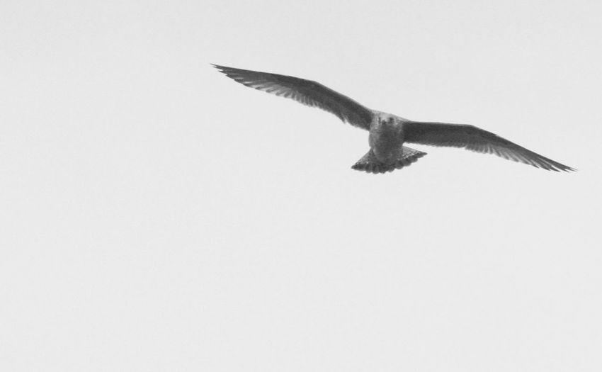 "Stormbird ""Knud"" Birds Sweden Blackandwhite EyeEm Selects Docks High Winds Rain Bird Spread Wings Flying Bird Of Prey Clear Sky Mid-air Sea Life Sea Sky Animal Themes Animal Wing"