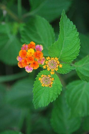 Lantana Beauty In Nature Blooming Close-up Colorful Flower Flower Head Lantana Lantana Camara Leaf No People