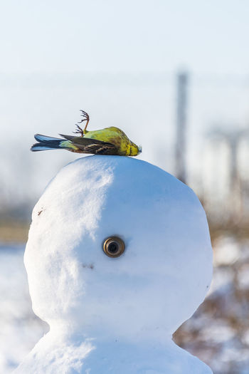 A yellow bird lying on the head of a snowman winter abstract scene snow and dead bird