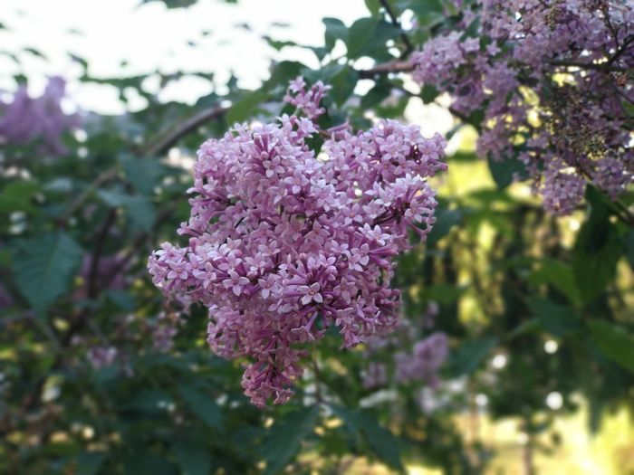 Blacklake Kazan Summer City Tree Flower Head Lilac Purple Blossom Pink Color Botany Close-up Plant Flowering Plant In Bloom Blooming Lavender Colored