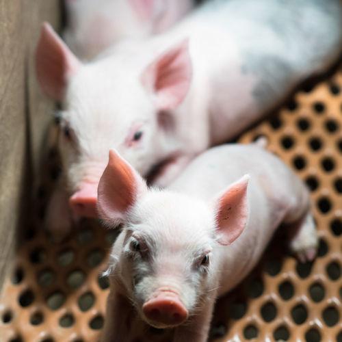 Portrait of pigs relaxing in pen