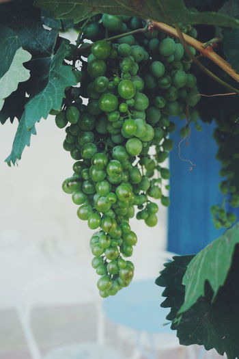 a bunch of grapes Grape Grapes Winegrapes Wine Fruit Berry Green Leaf Grape Leaf  Tree Vine - Plant Fruit Leaf Agriculture Hanging Grape Vineyard Winemaking Crop