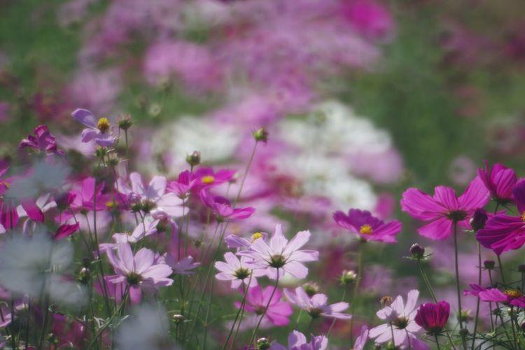 Flower 国営昭和記念公園 コスモス畑 秋桜 Pentax K-3