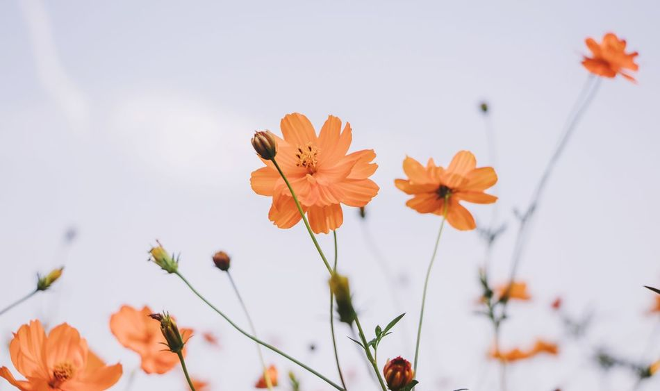 Flower Growth Nature Beauty In Nature Fragility Petal Flower Head Plant Close-up Freshness Focus On Foreground No People Day Outdoors Blooming Sky