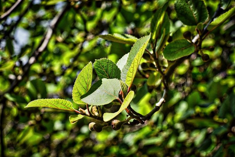 Beauty In Nature Branch Close-up Figgtree Figs And Leaves Focus On Foreground Freshness Fruit Green Color Growth Leaf Leaf Vein Nature Plant Selective Focus Tree