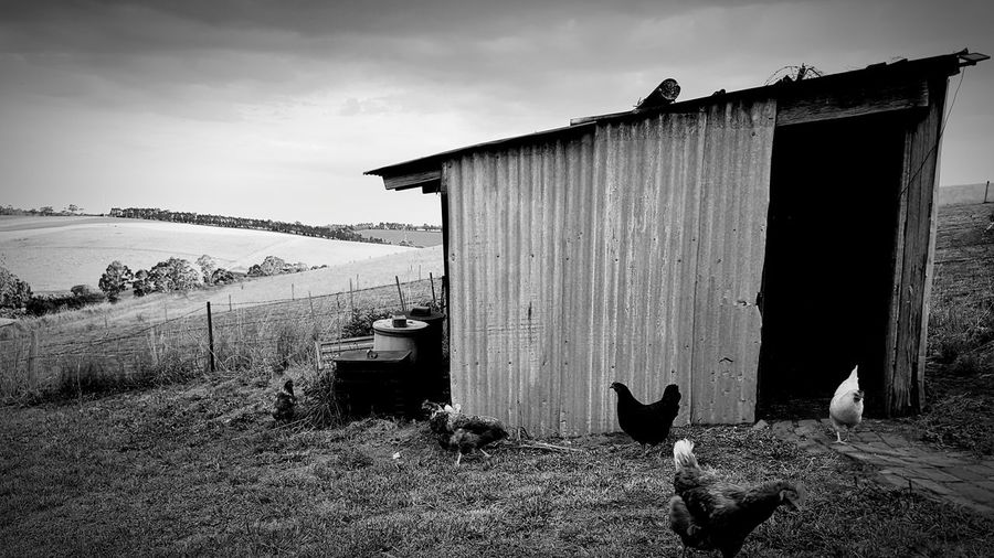 Chook shed Animals Poultry Chickens Hens EyeEmNewHere EyeEm Best Shots Blackandwhite Pets Sky Architecture Built Structure Shed Corrugated Iron Shack Tin Agricultural Building Farm Animal