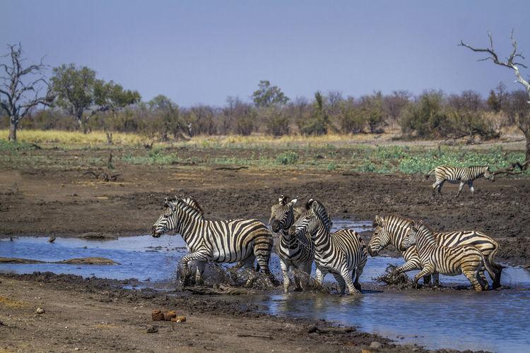 Zebras walking in lake