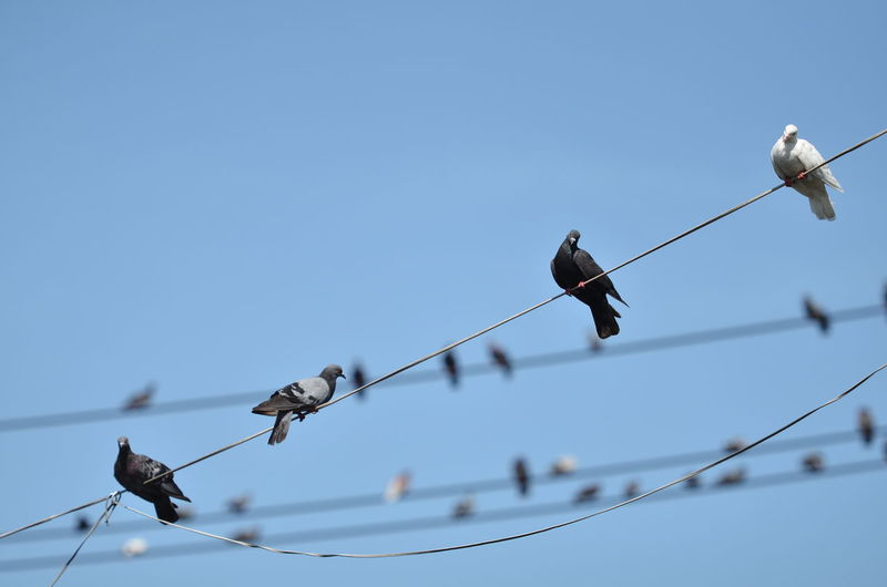Bird Animal Wildlife Sky Animal Animal Themes Animals In The Wild Vertebrate Perching Clear Sky Cable Group Of Animals Low Angle View Copy Space No People Nature Electricity  Blue Focus On Foreground Day Power Line  Outdoors Power Supply Telephone Line