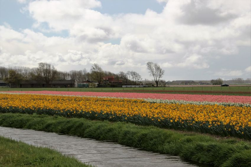 Agriculture Beauty In Nature Blossom Cloud - Sky Day Dutch Landscape Dutch Weather Field Flower Flower Head Flowerbed Flowers Fragility Freshness Growth In Bloom Nature No People Outdoors Rural Scene Sky Springtime Tranquil Scene Tranquility Tullips