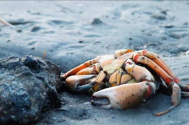 Beach Dead Crab Crab Ameland Ameland,Holland Dead Animal Animal Animal Shell Orange Color Close-up Composition Serene Serenity Serenity In Nature