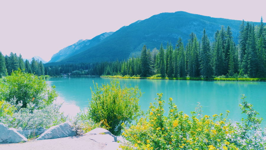 Beautiful scenery in Banff, Canada. Lovely blue and yellow flowers create a calm tone. Water Lake Nature Landscape Mountain Tree Beauty In Nature Forest Tranquil Scene Freshness Outdoors No People Sky Day Lush - Description