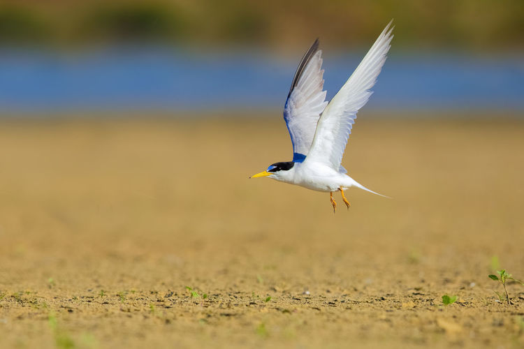 [白额燕鸥]扬州的夏侯鸟。