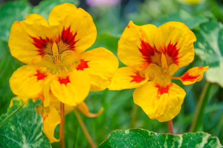 Nasturtium flowering in a residential garden. Flowering Plant Beauty In Nature Close-up Flower Flower Head Flowering Plant Fragility Freshness Green Color Leaf Nasturtium No People Petal Plant Plant Part Vulnerability  Yellow