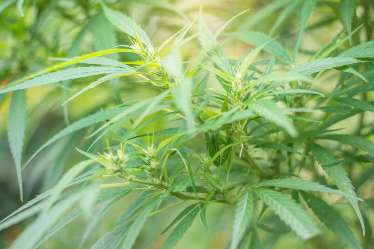 Close-Up Cannabis Plant