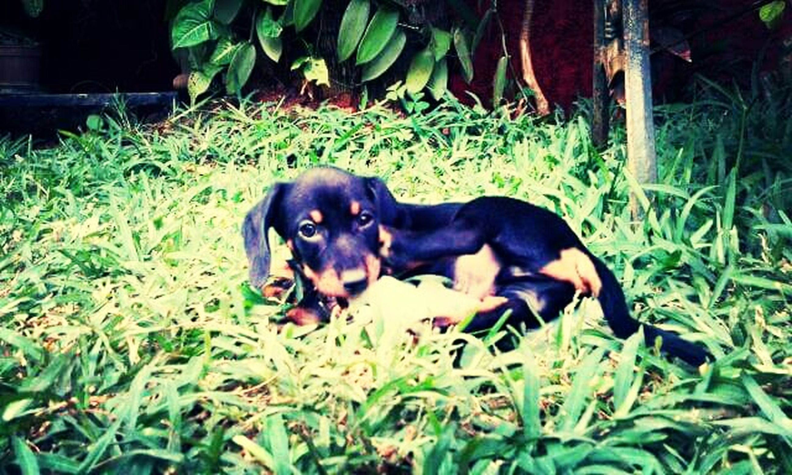 animal themes, pets, dog, domestic animals, one animal, mammal, grass, field, black color, green color, grassy, looking at camera, portrait, plant, pet collar, high angle view, relaxation, two animals, full length, sitting