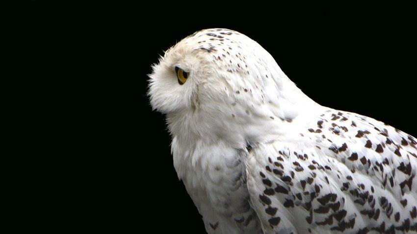 Snow Owl in profile Animals Nature EyeEm Nature Lover Birds