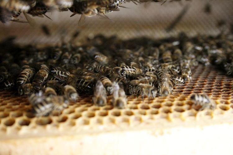 Bees Bienen  Bienen Bei Der Arbeit Bienenstock Bee Beehive Bienenwabe Honey Bee Honeycomb