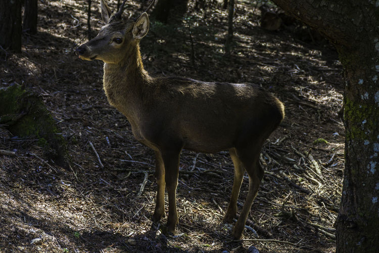 the deer model.. Animal Themes Animal Wildlife Animals In The Wild Beauty In Nature Day Deer Field Full Length Greece Mammal Nature No People One Animal Outdoors Parnitha Parnitha Mountain