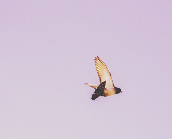 One Animal Flying Bird Animal Wildlife Animal Body Part Animal Themes Animal Spread Wings Animals In The Wild Day No People Close-up Outdoors Hovering Flying High Flying Bird Wing Pigeon Pink Purple Sky Freedom Nikon D3200 Animals In The Wild Beauty In Ordinary Things