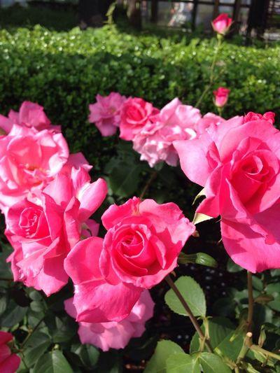 Flower 薔薇 天王寺公園 芳純