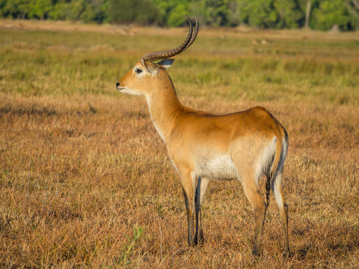 Side view of male red lechwe standing on field, moremi game reserve,