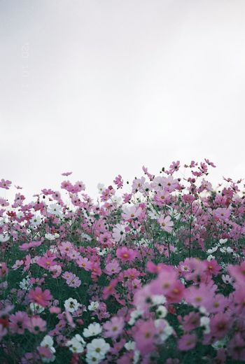 Close-up of pink flowering plants against clear sky