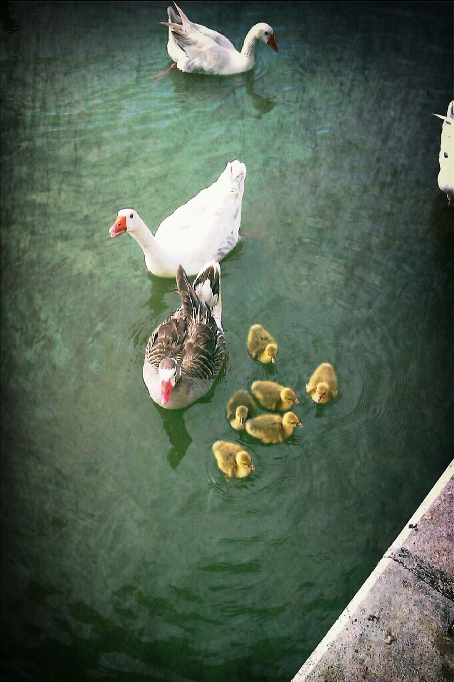 animal themes, water, bird, animals in the wild, wildlife, swimming, high angle view, waterfront, flying, floating on water, lake, two animals, medium group of animals, swan, duck, spread wings, nature, mid-air, rippled